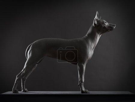 Xoloitzcuintle dog on low key photo