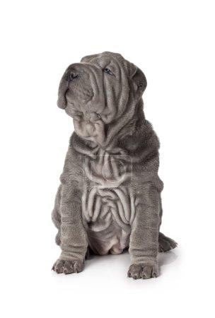Beautiful sharpei puppy