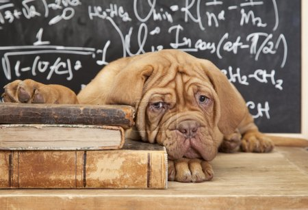 French Mastiff Puppy lying on Pile of Book...