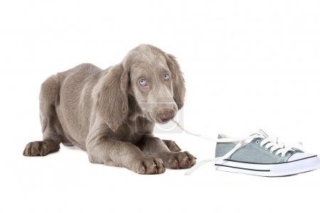 Weimaraner puppy chewing the lace of a shoe