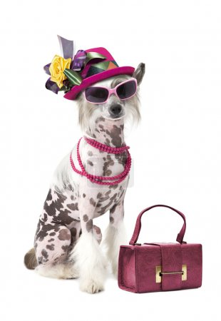 Photo for Hairless Chinese Crested dog with women accessories, looking at camer - Royalty Free Image