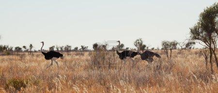 Male Ostriches running
