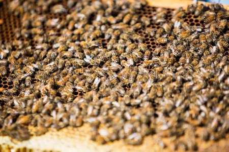 Bees Swarming On Honeycomb