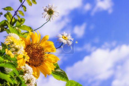 Sunflower and daisies against blue sky