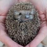 Cute hedgehog baby in male hand, closeup...