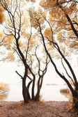 """Постер, картина, фотообои """"осенние деревья"""""""