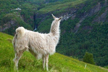 Photo pour Lamas en montagne. endroits pittoresques dans la nature. - image libre de droit
