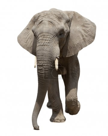 African elephant approaching