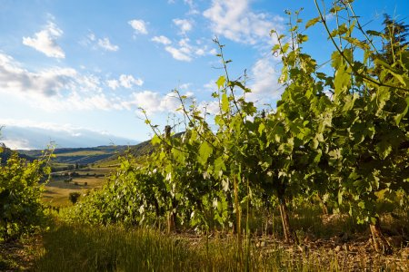 Wine hills and vineyards