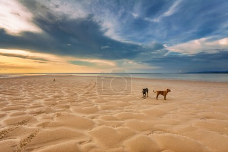Photo for Dogs on the beach under sunset gloomy sky - Royalty Free Image