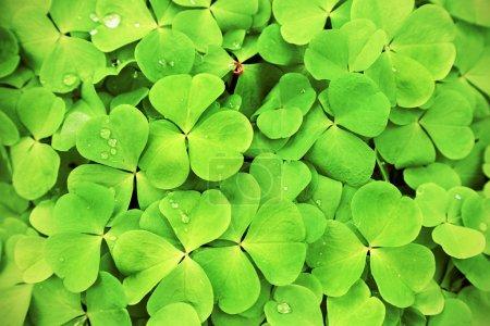 green clover background