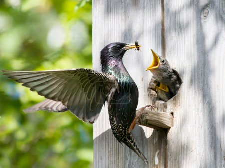 starling feed his nestling