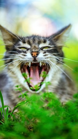 gray cat yawns