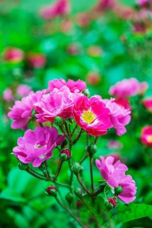Green bush of wild rose