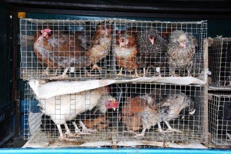 Foto de Pollos y gallos en una jaula pequeña - Imagen libre de derechos