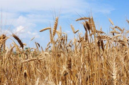 trigo en el campo