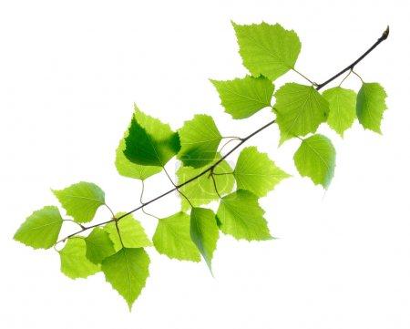 Foto de Abedul verde deja aislado en blanco - Imagen libre de derechos
