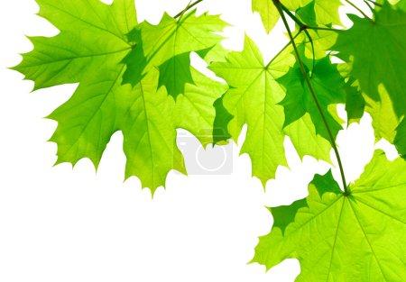 Photo pour Feuilles d'érable vert isolés sur blanc - image libre de droit