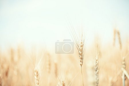 Photo for Summer field with golden wheat - Royalty Free Image