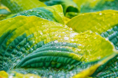Photo for Green leaves (hosta) with water drops for background - Royalty Free Image