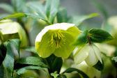 Detail květu vzácné helleborus