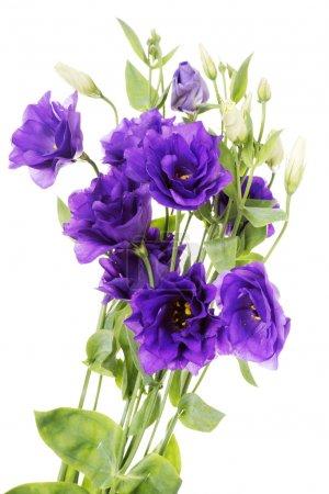 Advantage purple flower eustoma