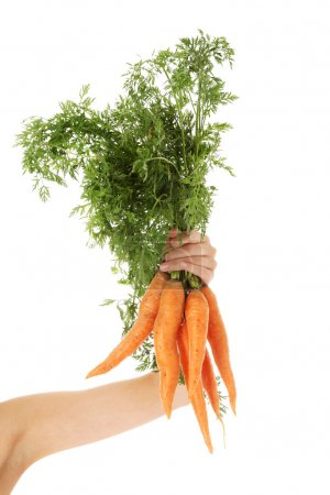 Photo for Young woman hand holding fresh carrots - Royalty Free Image