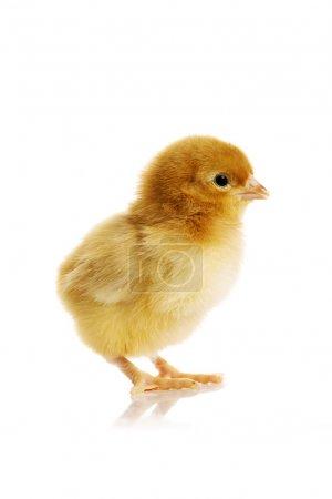 Photo pour Petit poulet - image libre de droit
