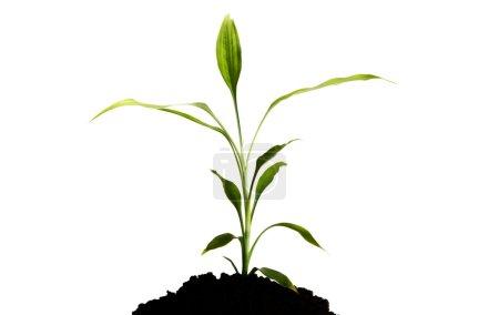 Photo pour Fermé fleur de tulipe mis dans le sol. Isolé sur blanc . - image libre de droit