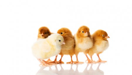 Group of small chicks.