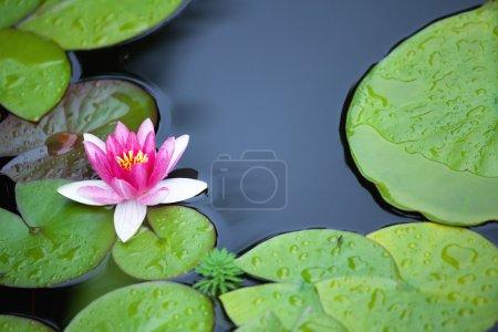 Photo pour Rose nénuphar et les leafs en bassin de jardin - image libre de droit