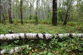 Summer birch forest