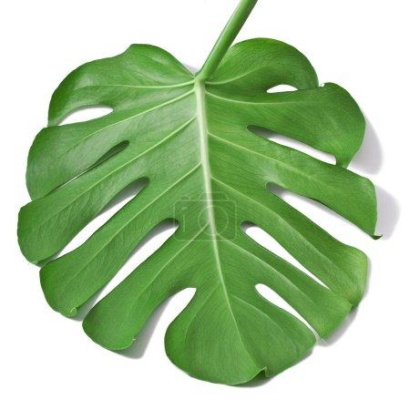 Photo pour Ένα μεγάλο πράσινο φύλλο φυτού Μονστέρα, απομονώνονται σε λευκό φόντο - image libre de droit