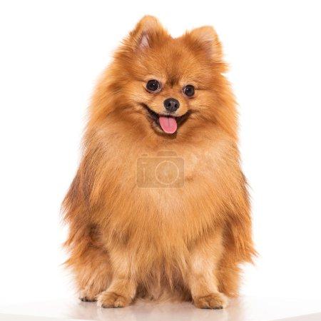 Adorable furry spitz