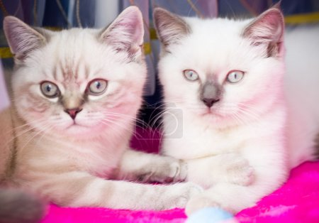 Two young white kitten