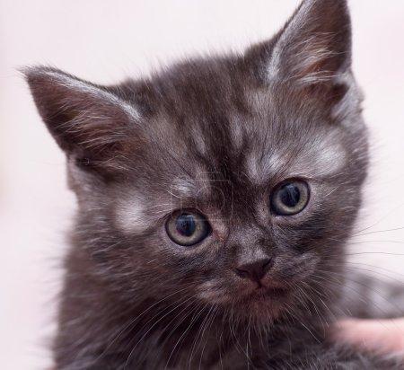 Beautiful Scottish kitten