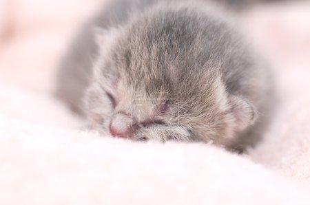Beautiful Scottish young cat