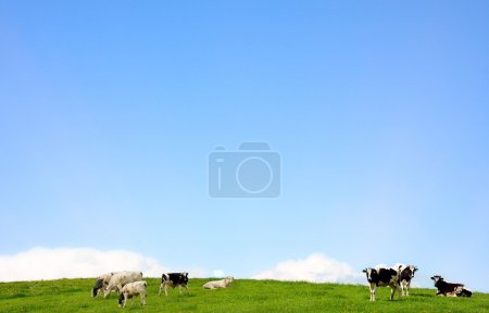 Cows on a pasture