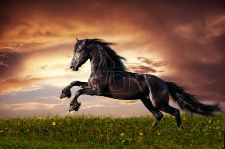 Beautiful black friesian stallion running gallop o...