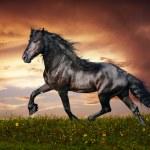 Beautiful black friesian stallion running trot on the field on sunset