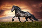 Black Friesian horse trot