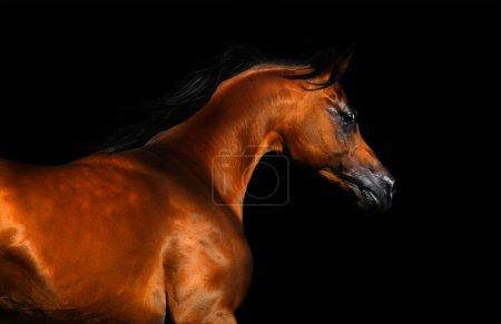 Beautiful brown arabian horse isolated on black