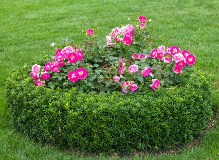 Photo for Flowerbed with pink roses in garden - Royalty Free Image
