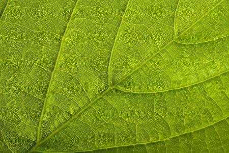 Photo pour Feuille verte fond, macro shot - image libre de droit