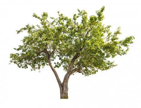 Photo pour Pommier vert aux petits fruits isolés sur fond blanc - image libre de droit
