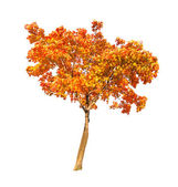 Red and gold autumn maple tree on white
