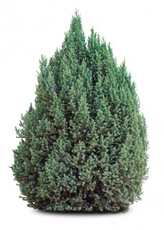 small evergreen tree on white