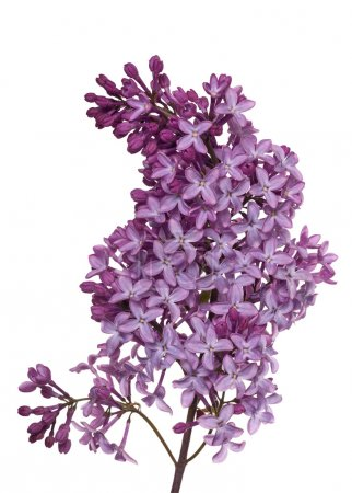 lush lilac floral branch on white