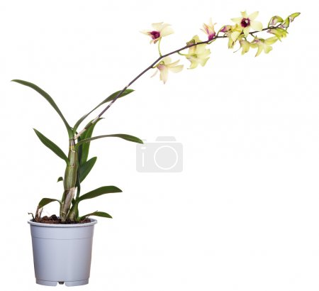 Yellow orchid flower in pot isolated on white