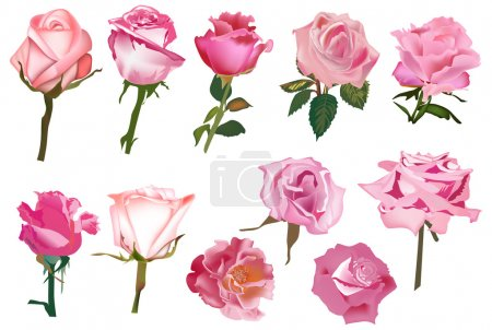 eleven pink isolated roses